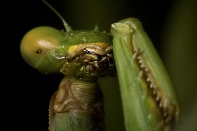 African Devil Flower Mantis