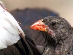 Burung Pipit Vampire