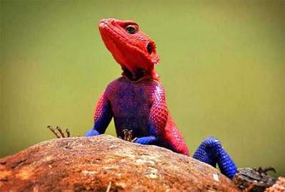 Mwanza Agama mirip spiderman